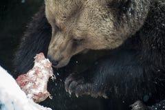 Brown niedźwiedź (Ursus arctos) Obrazy Stock