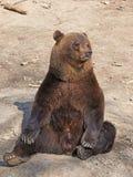 Brown niedźwiedź (Ursus arctos) Obrazy Royalty Free