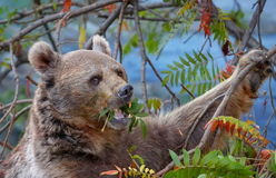 Brown niedźwiedź & x28; Ursus arctos& x29; je liście drzewo Obrazy Stock