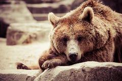 Brown niedźwiedź w śmiesznej pozie zdjęcia royalty free