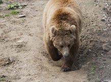 Brown niedźwiedź w Domazhyr Znosi sanktuarium, Lviv, Ukraina fotografia stock