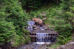 Brown niedźwiedź w drewnach Zdjęcie Stock