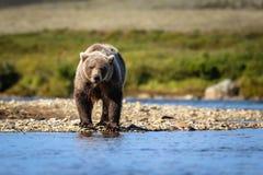 Brown niedźwiedź w Katmai parku narodowym Zdjęcie Royalty Free