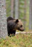 Brown niedźwiedź w lasowym behin drzewo Fotografia Royalty Free