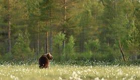 Brown niedźwiedź w lasu krajobrazie Zdjęcia Royalty Free