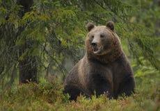 Brown niedźwiedź w lato lesie Fotografia Royalty Free