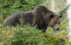 Brown niedźwiedź w lesie Fotografia Royalty Free