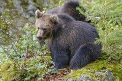 Brown niedźwiedź w lesie Zdjęcia Stock