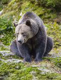 Brown niedźwiedź w lesie Zdjęcie Royalty Free