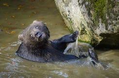 Brown niedźwiedź w lesie Zdjęcia Royalty Free