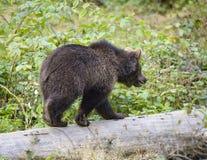 Brown niedźwiedź w lesie Obraz Royalty Free
