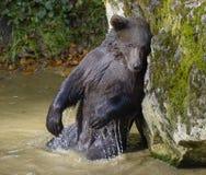 Brown niedźwiedź w lesie Obrazy Royalty Free