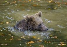 Brown niedźwiedź w lesie Obraz Stock