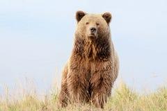 Brown niedźwiedź w naturze Fotografia Royalty Free