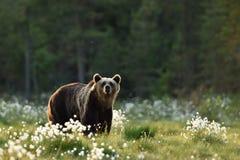 Brown niedźwiedź w rozkwitać bagno Obraz Stock