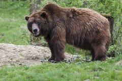 Brown niedźwiedź w trawie Obrazy Royalty Free