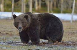 Brown niedźwiedź w wiosna lesie (Ursus arctos) Fotografia Royalty Free