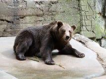 Brown niedźwiedź w zoo Kaliningrad Zdjęcie Stock