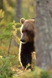 Brown niedźwiedź wewnątrz kontra światło Zdjęcia Stock