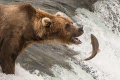 Brown niedźwiedź wokoło łapać łososia Zdjęcie Royalty Free