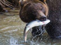 Brown niedźwiedź z świeżym chwytem łosoś Obrazy Royalty Free