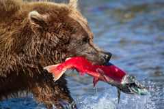 Brown niedźwiedź z czerwonym łososiem wewnątrz Zdjęcie Royalty Free