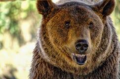 Brown niedźwiedź z otwartym usta Obraz Stock