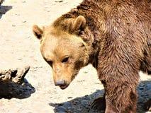 Brown niedźwiedź obrazy royalty free