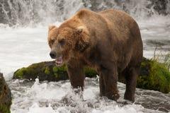 Brown niedźwiedź ziewa obok zielonej mechatej skały Obrazy Royalty Free