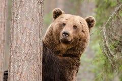 Brown niedźwiedź zostaje i ogląda Fotografia Royalty Free