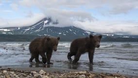 Brown niedźwiedzi lisiątka łapie ryba w jeziorze Obraz Royalty Free