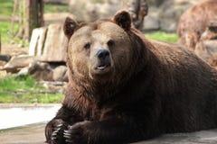 Brown niedźwiedzia łgarski puszek na skale Obrazy Royalty Free