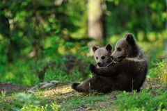 Brown niedźwiedzia lisiątka Obraz Royalty Free
