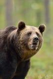 Brown niedźwiedzia portret Fotografia Stock