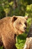 Brown niedźwiedzia portret Obrazy Stock