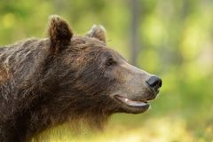 Brown niedźwiedzia portret Obrazy Royalty Free
