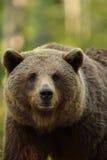 Brown niedźwiedzia portret Obraz Stock