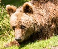 Brown niedźwiedzia portret Obraz Royalty Free