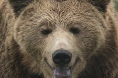 Brown niedźwiedzia portret, pełna twarz, Ursus arctos arctos Fotografia Royalty Free