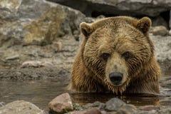 Brown niedźwiedzia ` s relaksujący czas Obrazy Stock