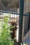 Brown niedźwiedzia spojrzenia przy gościami zoo przez żelaznego gretingu Zdjęcie Royalty Free