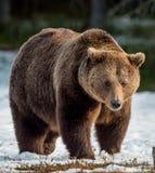 Brown niedźwiedzia Ursus arctos na śniegu obrazy royalty free