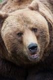 Brown niedźwiedzia zakończenie Zdjęcia Royalty Free
