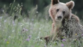 Brown niedźwiedzie, Transylvania, Rumunia