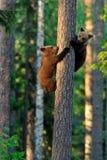 Brown Niedźwiadkowy Cubs Obraz Royalty Free
