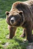 Brown niedźwiedzia portret Zdjęcie Stock