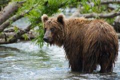 Brown niedźwiedzia ryba Obraz Stock