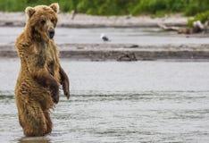Brown niedźwiedzia ryba Zdjęcie Royalty Free