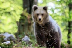 Brown niedźwiedzia Ursus arctos fotografia royalty free