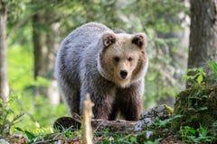 Brown niedźwiedzia Ursus arctos obraz royalty free